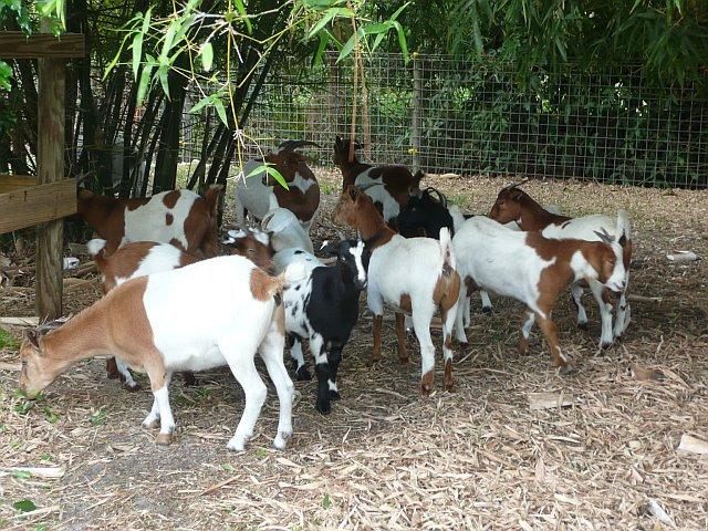 Myotonic Goats