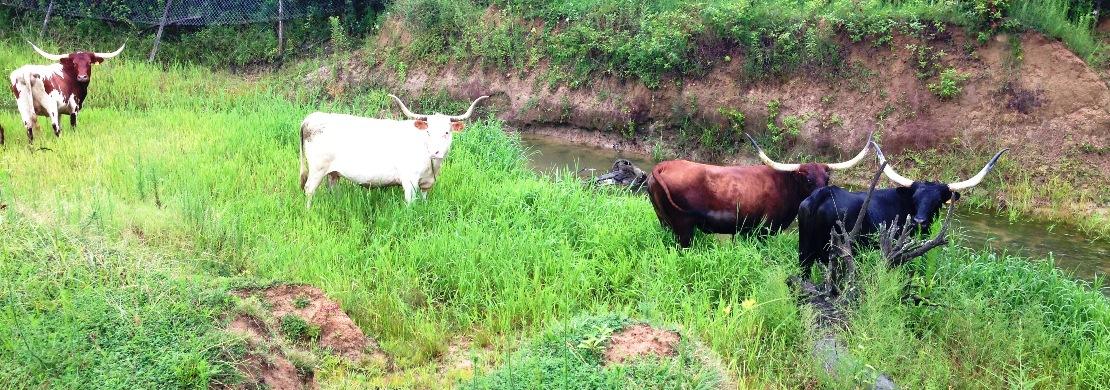 tennessee cattle farms cows3742jpg